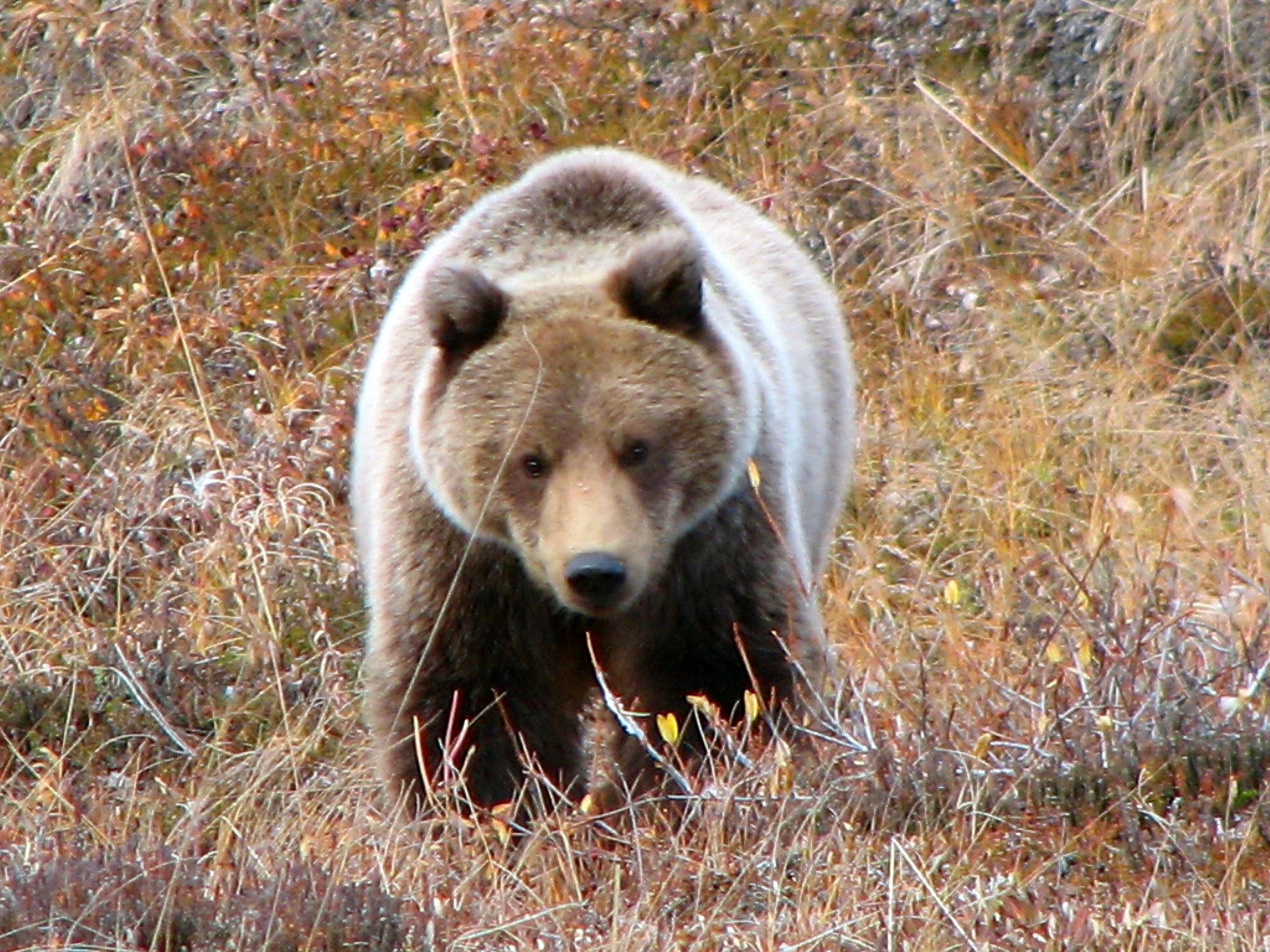 жаловались, фото север медведя бурый ранних